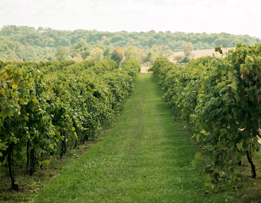 Beautiful green vineyard at Pedretti's Party Barn in Viroqua, Wisconsin
